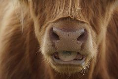 Face of a galloway. Close up Stock Photography
