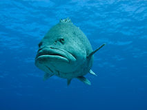 Face of Giant Potato Cod Great Barrier Reef Stock Photography