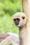 Face of gibbon with blurry background Royalty Free Stock Photos