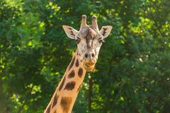 Face of giraffe. Royalty Free Stock Image