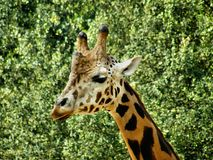 The face of the giraffe stock images