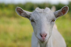 Face of goat Royalty Free Stock Photo