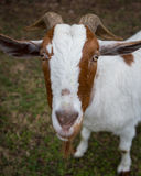 Face of a Goat with Horns. Face of a brown and white goat with horns starting at the camera Stock Photography