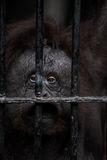 Face of gorilla. Fearing or missing Stock Photos