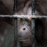 Face of gorilla. Fearing or missing Stock Image