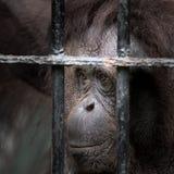 Face of gorilla Stock Image