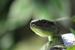 Face  grass snake, reptile, Serpentes Stock Image