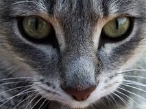 face of a gray cat close-up stock photo