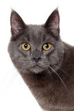 Face of gray cat Royalty Free Stock Image