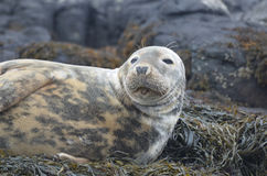 Face of a Gray Seal Royalty Free Stock Images