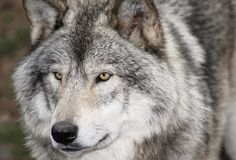 Face of gray wolf. Face of big gray wolf in nature Royalty Free Stock Images