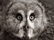 Face of a great grey owl. stock photo