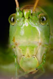 Face of green grasshopper Stock Images