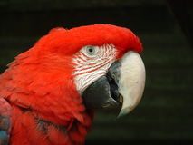 Face of Green Wing Macaw Stock Photography