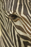 Face of a Grevy's zebra close up Royalty Free Stock Photo