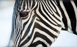 Face of a Grevy's zebra close up Stock Image