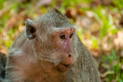 Face of grey monkey macaque stock photography