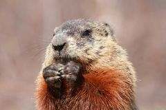 Face of ground hog Stock Images