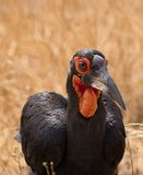 The face of the Ground-hornbill Stock Images