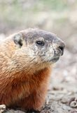 Face of groundhog Royalty Free Stock Images