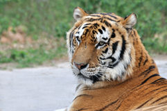 Face of a grown tiger. Face of a grown China Northeast tiger is lying Royalty Free Stock Image