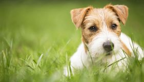 Face of a happy pet dog puppy as lying in the grass, web banner idea stock images