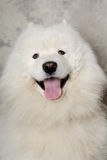 Face of happy samoyed dog Royalty Free Stock Photos