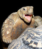 Face of a happy tortoise Stock Photos