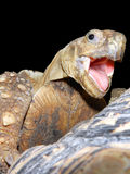 Face of a happy tortoise Royalty Free Stock Images