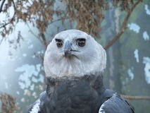 Face of Harpy eagle. Royalty Free Stock Image