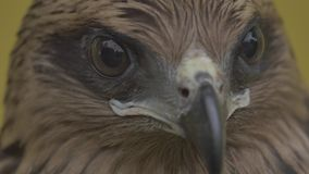 The face of a hawk stock footage