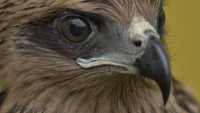 The face of a hawk stock video footage