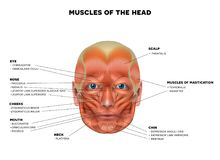 Face and head Muscles Stock Photo