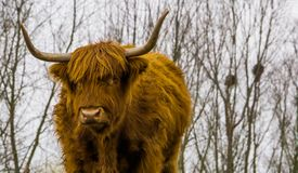 Face of a highland cattle in closeup, scottish cow, popular domesticated farm animal. The face of a highland cattle in closeup, scottish cow, popular royalty free stock photos