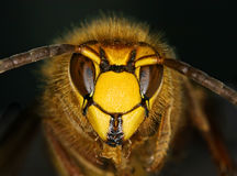 Face of hornet Royalty Free Stock Image