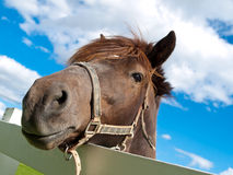 Face Horse Stock Image