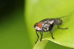 Face of house fly Stock Image