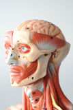 Face human anatomy Stock Image