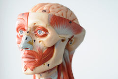 Face human anatomy Royalty Free Stock Photo