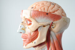 Face human anatomy Stock Photos