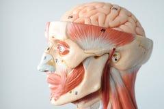 Face human anatomy Stock Photos