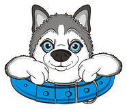 Face of husky in large collar Stock Image
