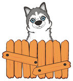 Face of husky near the fence Royalty Free Stock Photography