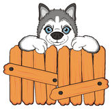 Face of husky peek up from wooden boards Stock Images