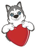 Face of husky with red object Royalty Free Stock Images