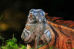 Face of an Iguana Royalty Free Stock Photos
