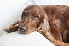 Face of Irish Setter on a couch. Stock Photo