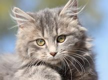 Face of kitten Royalty Free Stock Photos