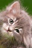 Face of kitten Stock Image