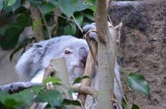 Face of a Koala Bear Sitting Up in a Tree Royalty Free Stock Photo